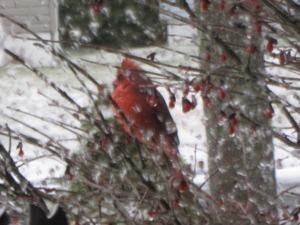 Mr. Cardinal having a Burning Bush snack