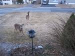 Yearling Deer andMother