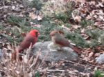 Mr. and Mrs. Cardinal – spring2013