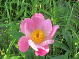 single pink peony